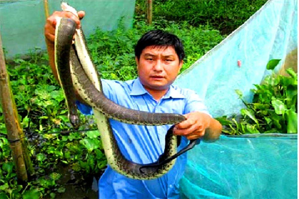Chết khiếp: Khoanh lưới gần 2.000 con rắn loang lổ ở Hậu Giang-1