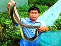 Chết khiếp: Khoanh lưới gần 2.000 con rắn loang lổ ở Hậu Giang