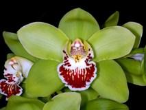 Mất 8 năm nuôi dưỡng và 5 năm đợi nở hoa, giá của loài hoa phong lan này khiến đại gia 'đau tim'