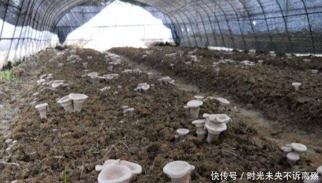 Thần dược Nấm Sữa Hổ mọc hoang ở các vùng quê giá gần 7 triệu/kg-1
