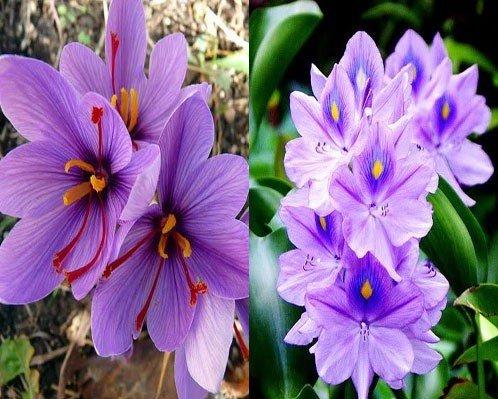 Nhìn giống hoa bèo tây nhưng nhụy của loài hoa này lên đến hàng trăm triệu-4