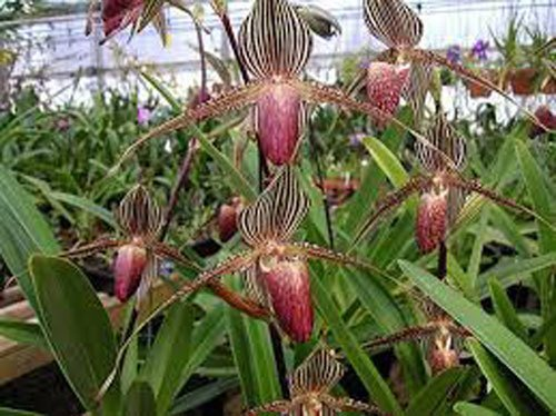 Loài hoa lan 15 năm mới nở một lần, 136 triệu đồng/cây-3