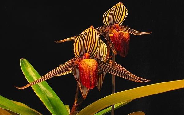 Loài hoa lan 15 năm mới nở một lần, 136 triệu đồng/cây-4