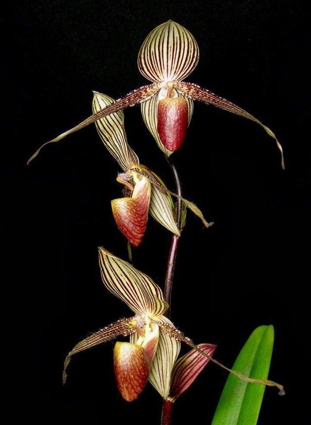Loài hoa lan 15 năm mới nở một lần, 136 triệu đồng/cây-5