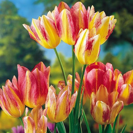 Chiêm ngưỡng loài hoa tulip thuần chủng có nguồn gốc từ thế kỷ 17 giá cực đắt đỏ-1