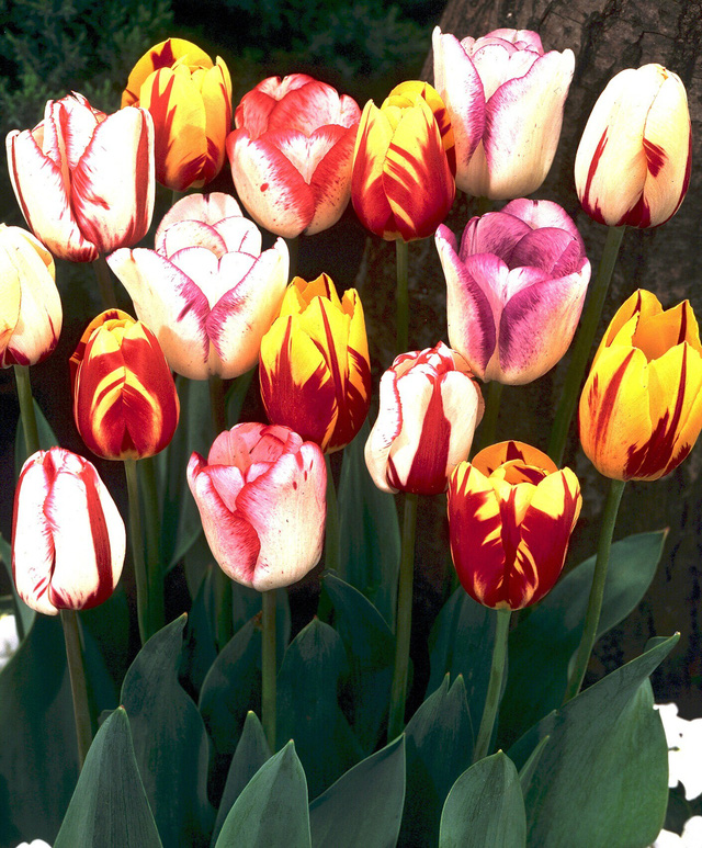 Chiêm ngưỡng loài hoa tulip thuần chủng có nguồn gốc từ thế kỷ 17 giá cực đắt đỏ-3