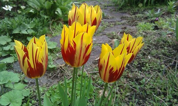 Chiêm ngưỡng loài hoa tulip thuần chủng có nguồn gốc từ thế kỷ 17 giá cực đắt đỏ-4