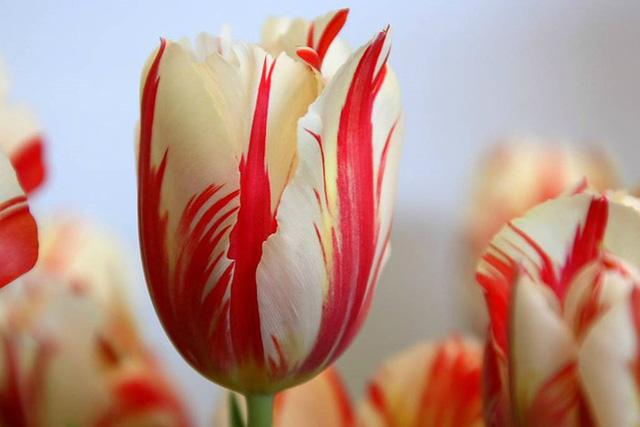 Chiêm ngưỡng loài hoa tulip thuần chủng có nguồn gốc từ thế kỷ 17 giá cực đắt đỏ-5