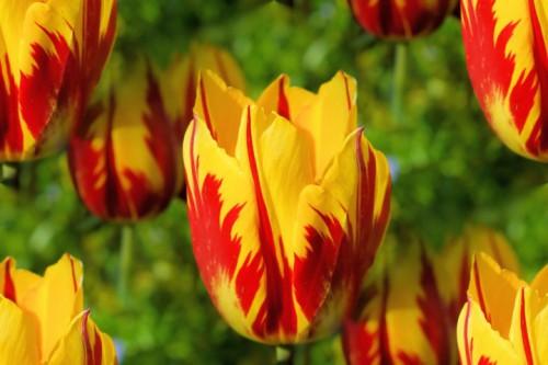 Chiêm ngưỡng loài hoa tulip thuần chủng có nguồn gốc từ thế kỷ 17 giá cực đắt đỏ-6