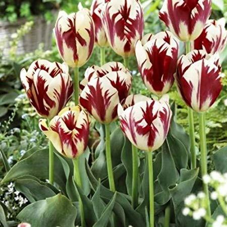 Chiêm ngưỡng loài hoa tulip thuần chủng có nguồn gốc từ thế kỷ 17 giá cực đắt đỏ-7