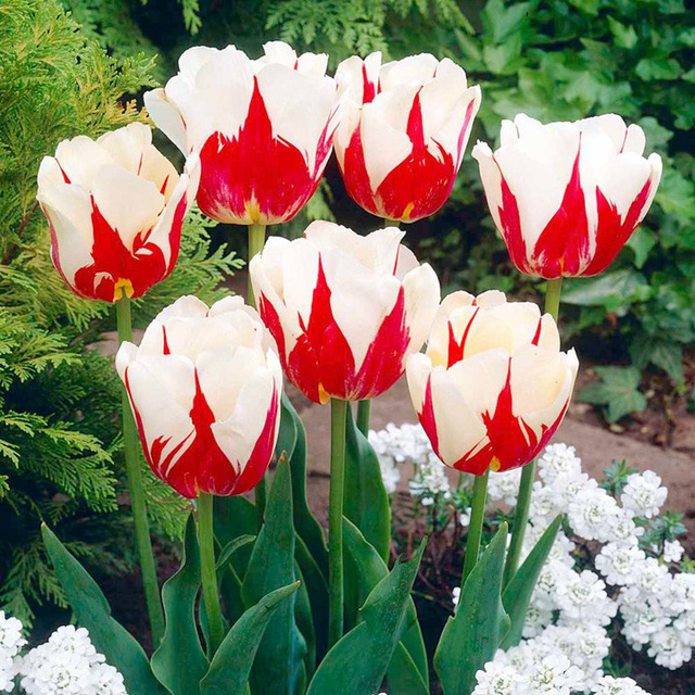 Chiêm ngưỡng loài hoa tulip thuần chủng có nguồn gốc từ thế kỷ 17 giá cực đắt đỏ-8
