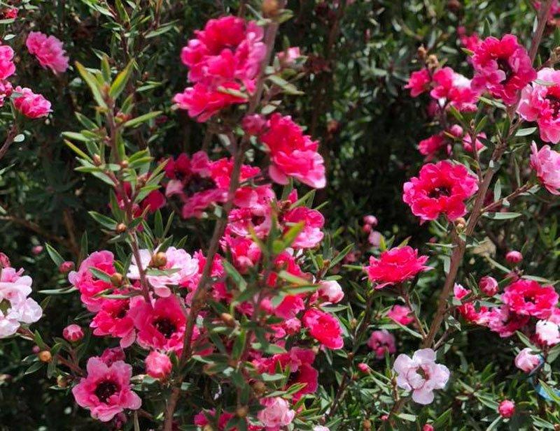 Bỏ 500 triệu mua trăm bụi cây dại, hoa nhỏ li ti trồng khắp vườn nhà-1