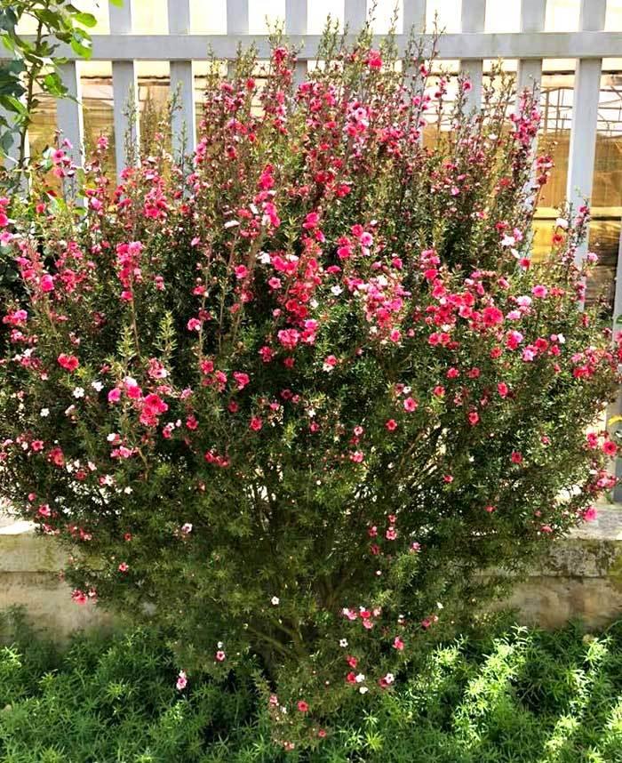 Bỏ 500 triệu mua trăm bụi cây dại, hoa nhỏ li ti trồng khắp vườn nhà-3