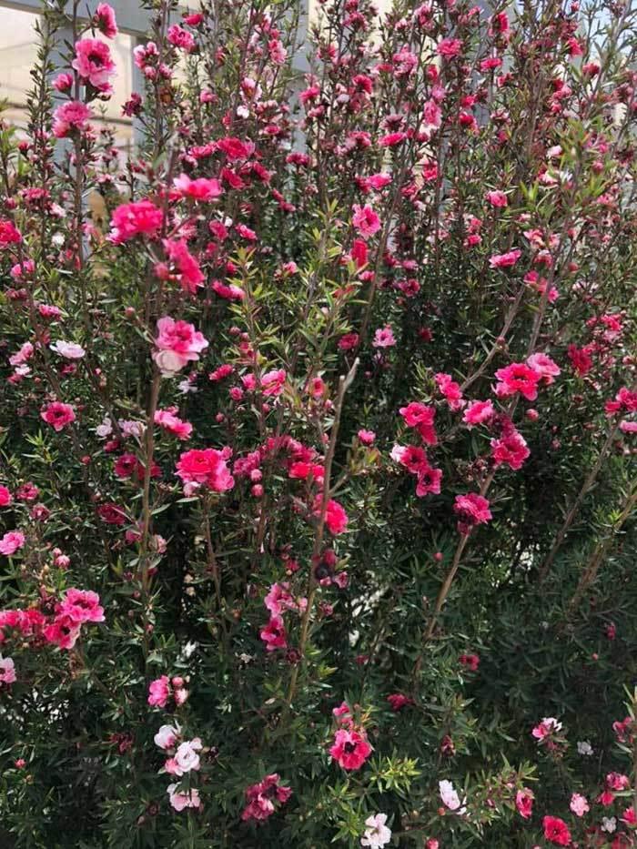 Bỏ 500 triệu mua trăm bụi cây dại, hoa nhỏ li ti trồng khắp vườn nhà-4