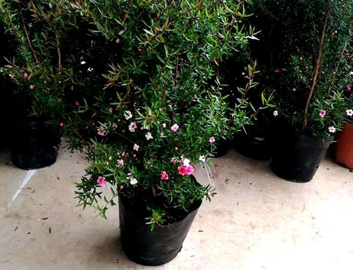 Bỏ 500 triệu mua trăm bụi cây dại, hoa nhỏ li ti trồng khắp vườn nhà-5
