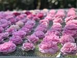 Những gốc hoa hồng cổ siêu đắt đỏ của đại gia Việt-19