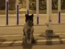 Video: Cảm động chú chó ngồi đợi 80 ngày tại nơi cô chủ thiệt mạng