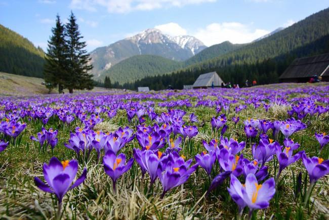 Bí mật thú vị của saffron - gia vị đắt nhất thế giới gần 1 tỷ/kg từng được Nữ hoàng Ai Cập dùng dưỡng nhan-2
