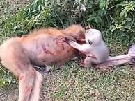 Xúc động khoảnh khắc khỉ con khóc, lay mẹ đã chết vì tai nạn giao thông