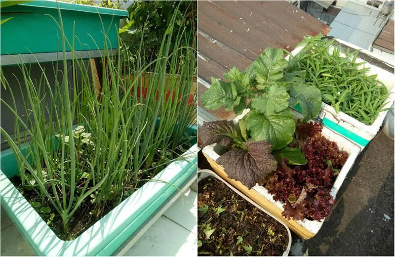 Sân thượng nhỏ mà có võ xanh mướt mát rau sạch của mẹ đảm Sài Gòn-5