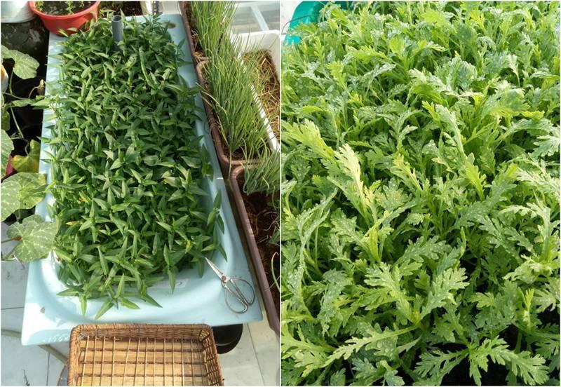 Sân thượng nhỏ mà có võ xanh mướt mát rau sạch của mẹ đảm Sài Gòn-10