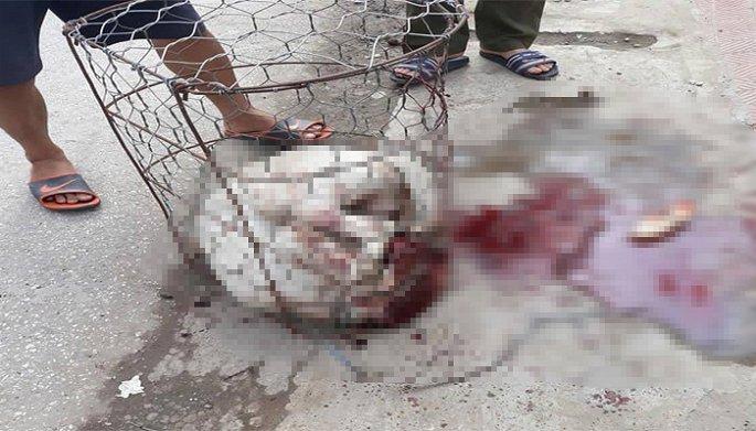 Chó Pitbull 30kg điên cuồng lao vào cắn chủ nhà và hàng xóm nhập viện ở Hà Nội-1