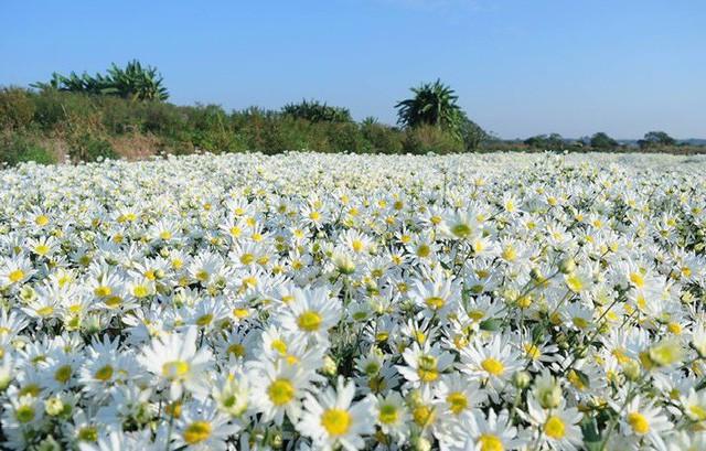 Cúc họa mi hút khách, người trồng hoa kiếm bộn tiền