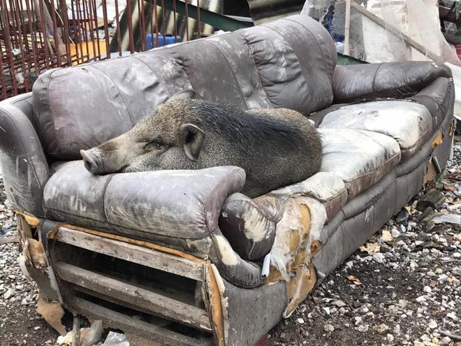 Ăn no rồi leo lên sofa ngủ, chú heo trở thành nhân vật gây chú ý nhất trên mạng xã hội-1