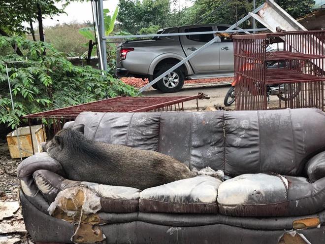 Ăn no rồi leo lên sofa ngủ, chú heo trở thành nhân vật gây chú ý nhất trên mạng xã hội-3