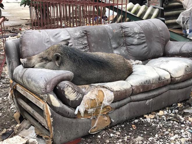 Ăn no rồi leo lên sofa ngủ, chú heo trở thành nhân vật gây chú ý nhất trên mạng xã hội-4