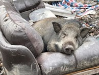 Ăn no rồi leo lên sofa ngủ, chú heo trở thành 'nhân vật' gây chú ý nhất trên mạng xã hội
