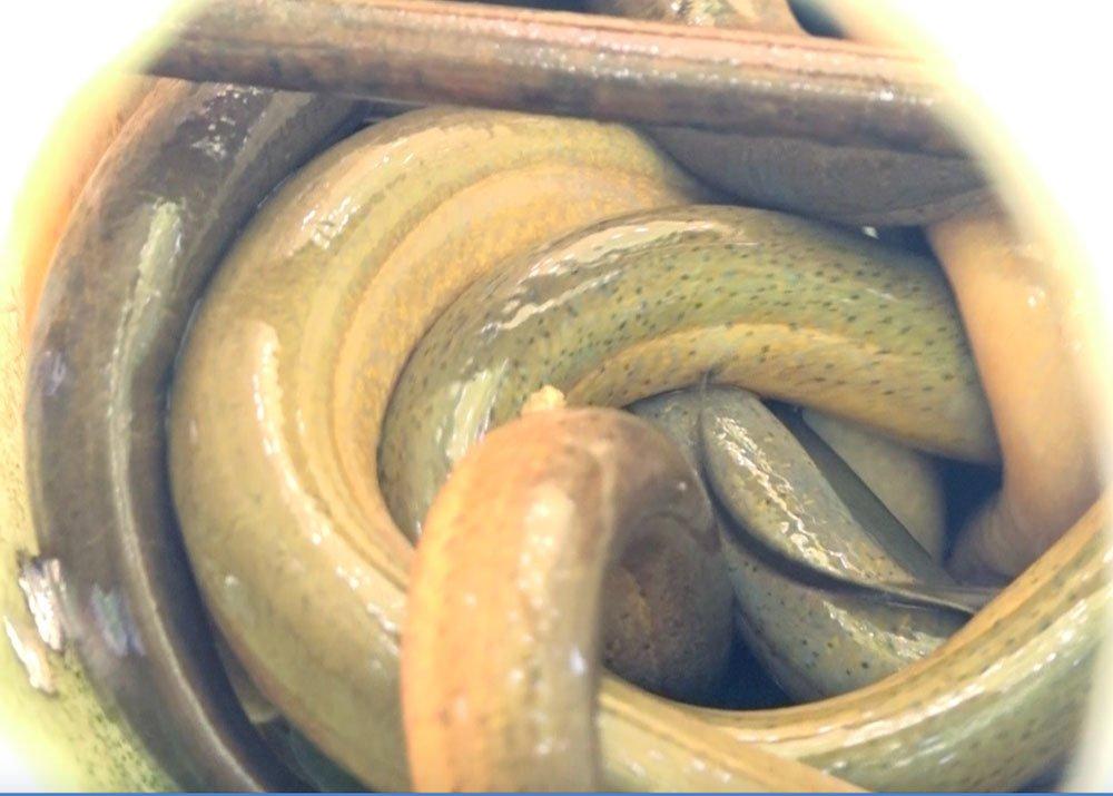 Chuyện lạ miền Tây: Phát hãi ngàn con lươn lúc nhúc trong cái can nhựa-1