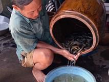 Chuyện lạ miền Tây: Phát hãi ngàn con lươn lúc nhúc trong cái can nhựa
