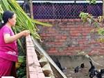 Dân Huế liên tục bắt được chim Bồ nông quý hiếm, gắn thiết bị có chữ nước ngoài-3