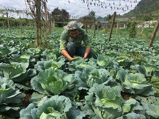 Trai 18 tuổi, trồng 6.000m2 rau cải bắp, kiếm 100 triệu đồng/năm-1