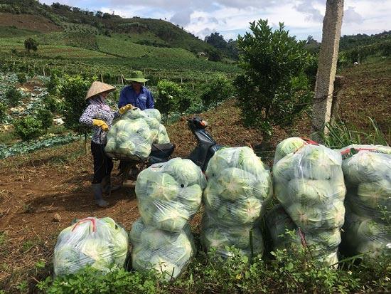 Trai 18 tuổi, trồng 6.000m2 rau cải bắp, kiếm 100 triệu đồng/năm-5