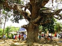 Bí ẩn chưa biết về 'cụ' cây dầu dù khổng lồ trên đất Trà Vinh