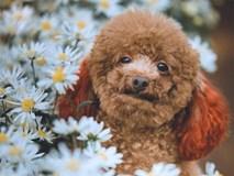 Chú chó chiếm sóng spotlight mùa cúc họa mi, 'ăn đứt' mọi mẫu ảnh xinh đẹp