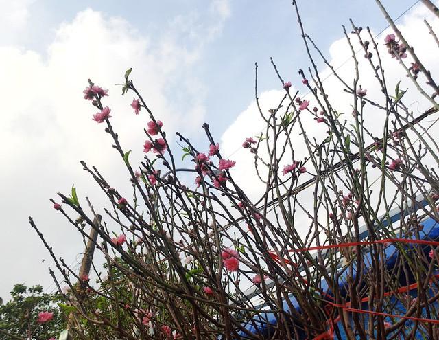 Chuyện lạ: Hoa đào bất ngờ bung nở rầm rộ, giá 200.000 đồng/cành-3