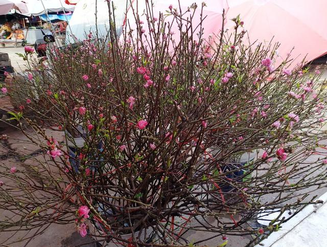 Chuyện lạ: Hoa đào bất ngờ bung nở rầm rộ, giá 200.000 đồng/cành-4