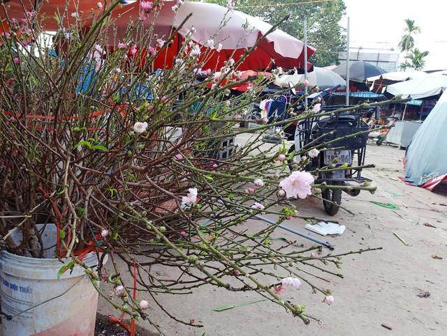 Chuyện lạ: Hoa đào bất ngờ bung nở rầm rộ, giá 200.000 đồng/cành-5