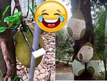"""""""Cười chảy nước mắt"""" với 1001 chiêu chống trộm trái cây bá đạo chỉ có ở Việt Nam"""