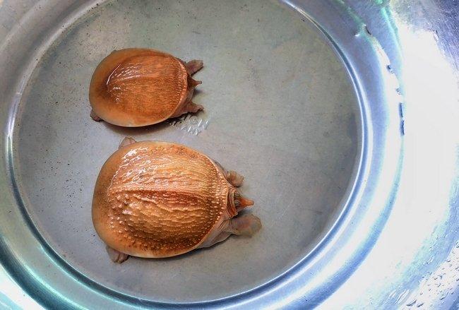 Cặp rùa đột biến vàng rực: Nhỏ tý hon giá 60 triệu không bán-2