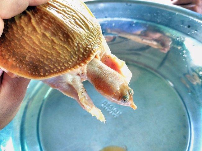 Cặp rùa đột biến vàng rực: Nhỏ tý hon giá 60 triệu không bán-3