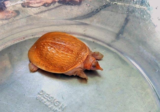 Cặp rùa đột biến vàng rực: Nhỏ tý hon giá 60 triệu không bán-5