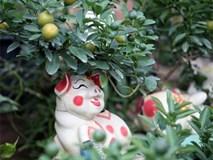 Quất bonsai giá 1,5 triệu đồng trên lưng