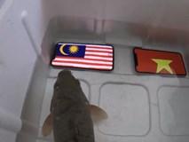 Clip: Con cá dự đoán Malaysia thắng chung kết AFF Cup và cái kết đắng