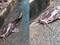 Tò mò về con cá trê dài gần một mét, xấu đến nỗi cả xóm không ai dám... ăn