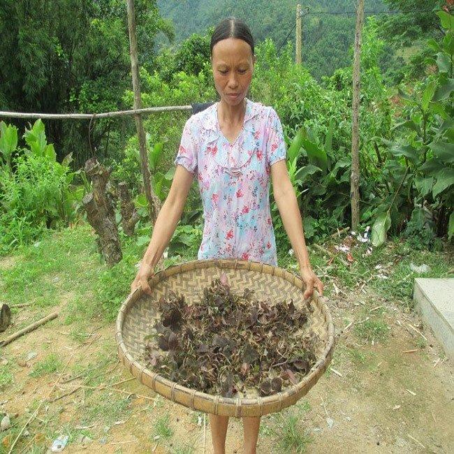 Cỏ lạ được Trung Quốc mua với giá chục triệu/kg, dân đổ xô vào rừng tìm-1