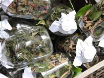 Cỏ lạ được Trung Quốc mua với giá chục triệu/kg, dân đổ xô vào rừng tìm